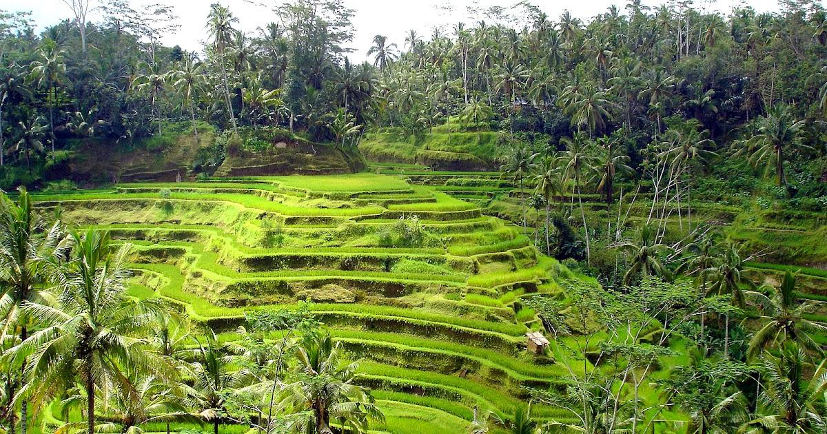 rice fields hd landscape wallpapers desktop wallpapers