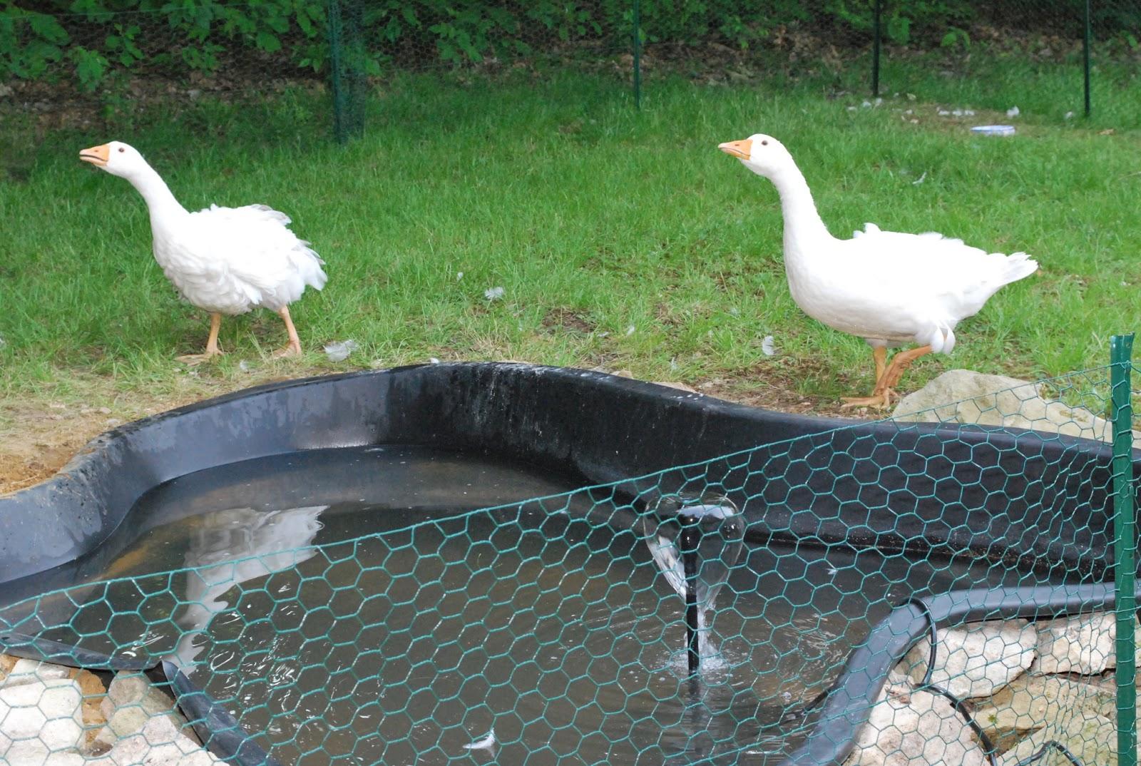 Как сделать бассейн гусями