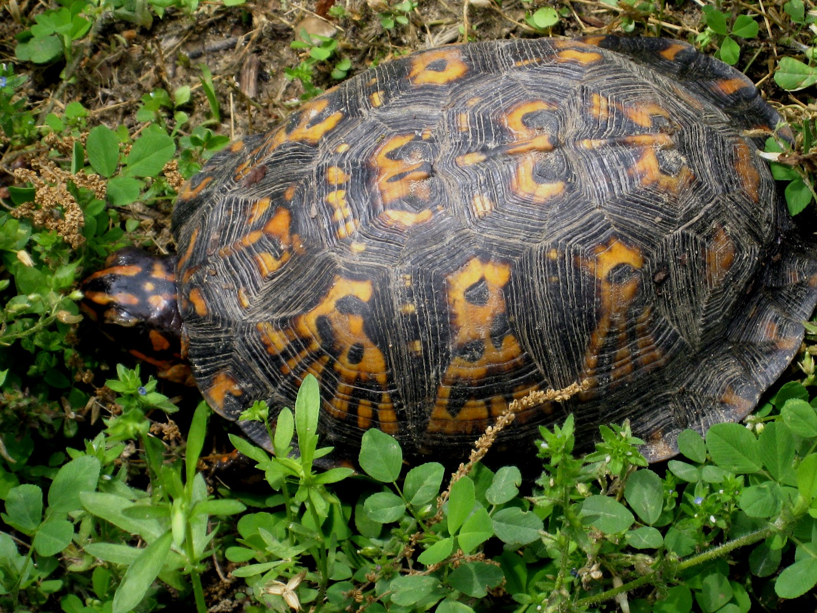 how to raise a wild box turtle