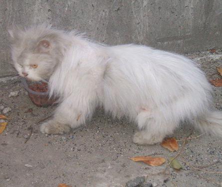 Adotta un gatto anziano adottato persiano in cerca di for In cerca di una nuova casa