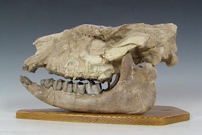 Hyracodon skull