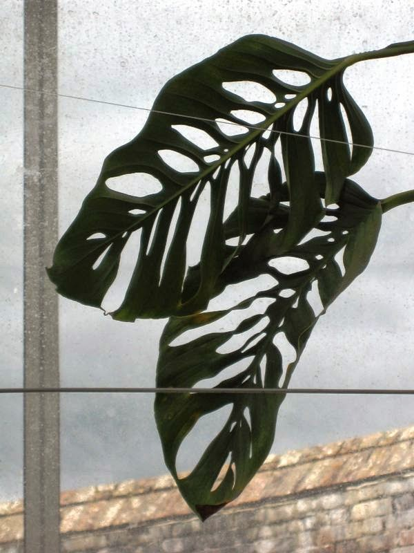 Leaves of a Swiss cheese plant in front of a window