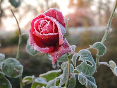 rose parfumée