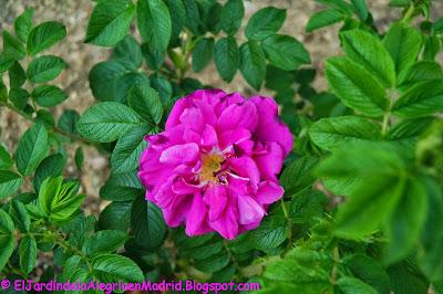 Rosa rugosa 'Hansa'