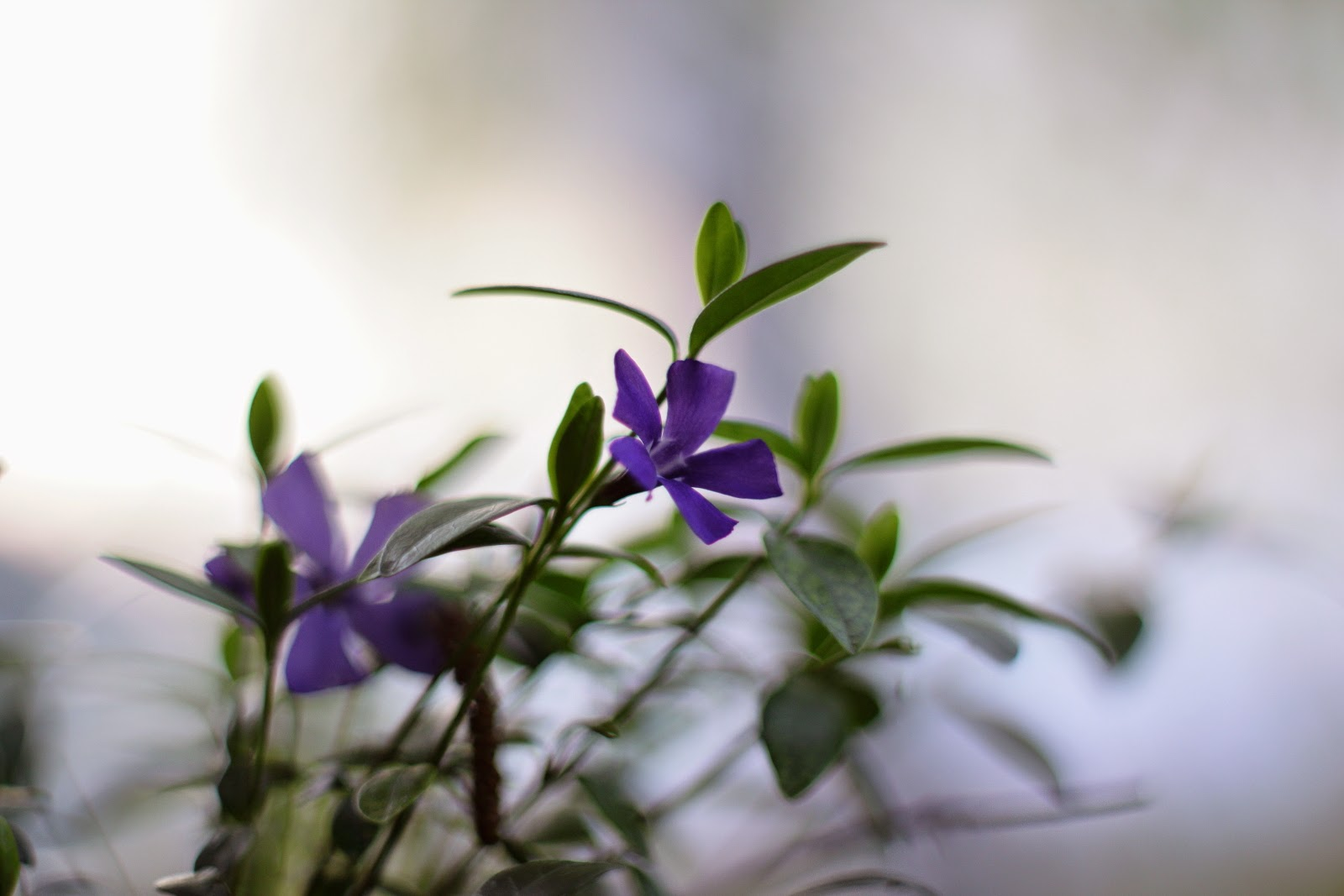 vinca flower, A Day in the Life, Photo-A-Day April 2015, Day 13, by Lisa Miller