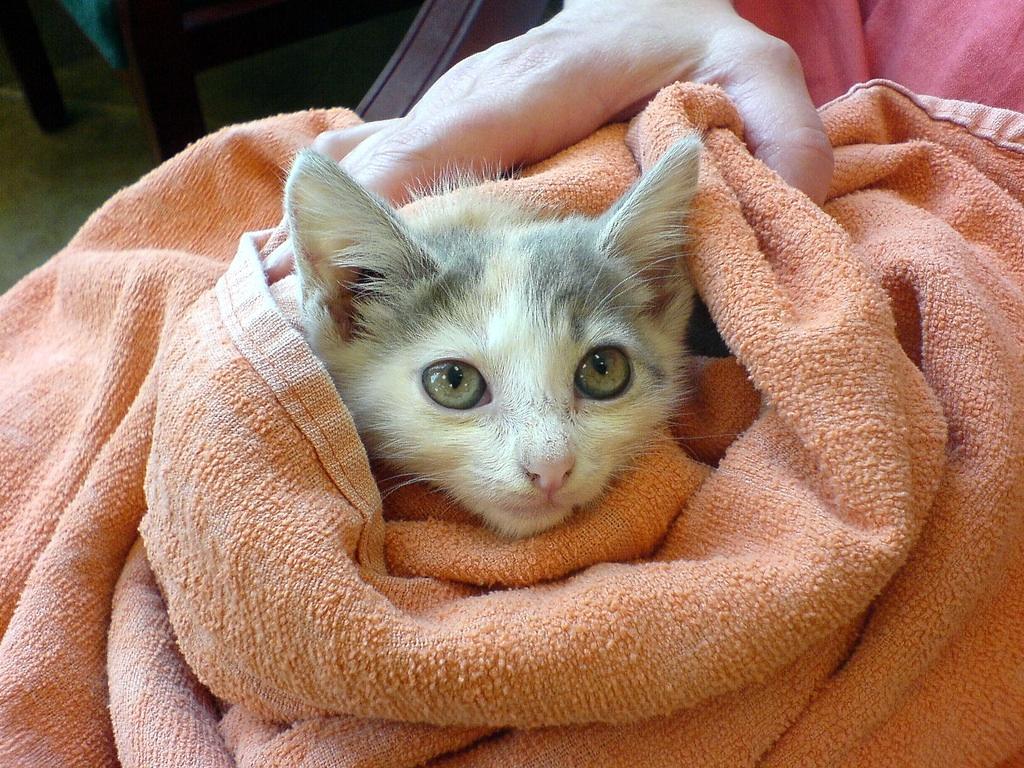 bambino kittens for sale ny
