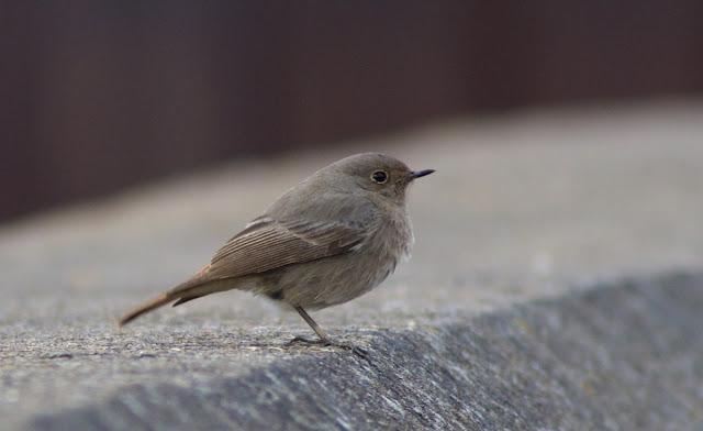 Birds, Birding, Rainham, RSPB