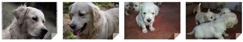 Venta de cachorros de raza Golden Retriever