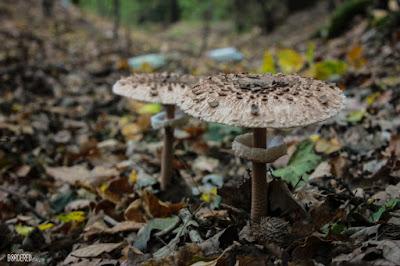mushroom őzláb