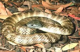 Ular Tiger Snake