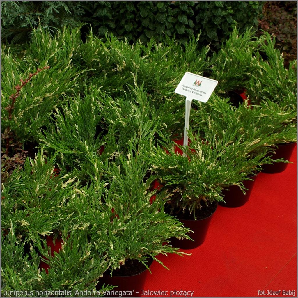 Juniperus horizontalis 'Andorra Variegata' - Jałowiec płożący 'Andorra Variegata'