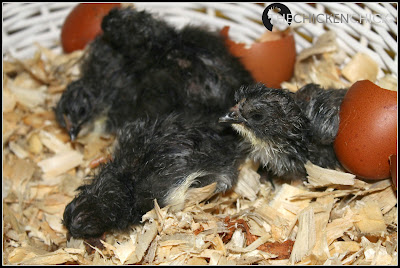 Black Copper Marans chicks. ~The Chicken Chick®