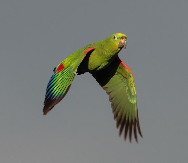 Birds of the World: Yellow-crowned amazon Yellow Crowned Amazon