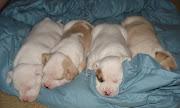 pitbull dog houses