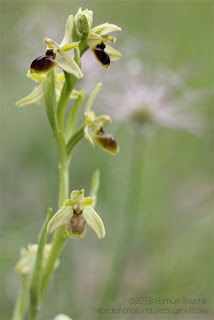 Macro Ophrys orchidée sauvage photo nature