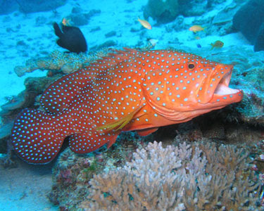 Groupers : Grouper and Groupers ~ planetanimalzone