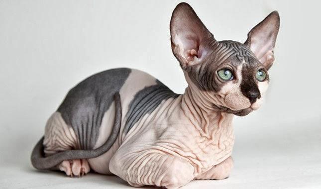 Very Thin Short Cat Breed
