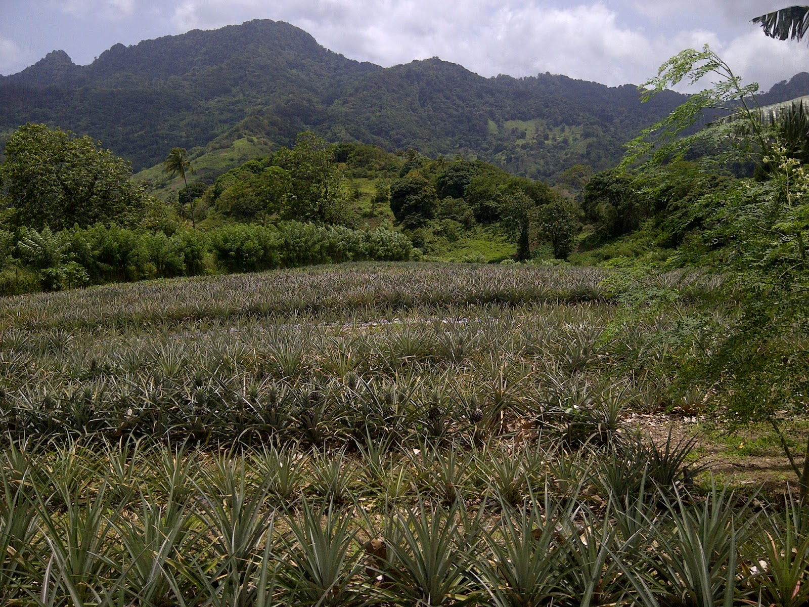 Emerald Valley Pineapples