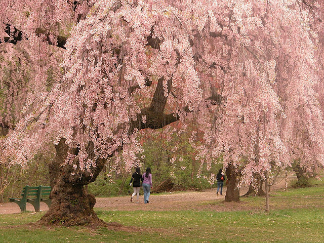 picture of a cherry blossom tree in the Brooklyn Botanic Garden