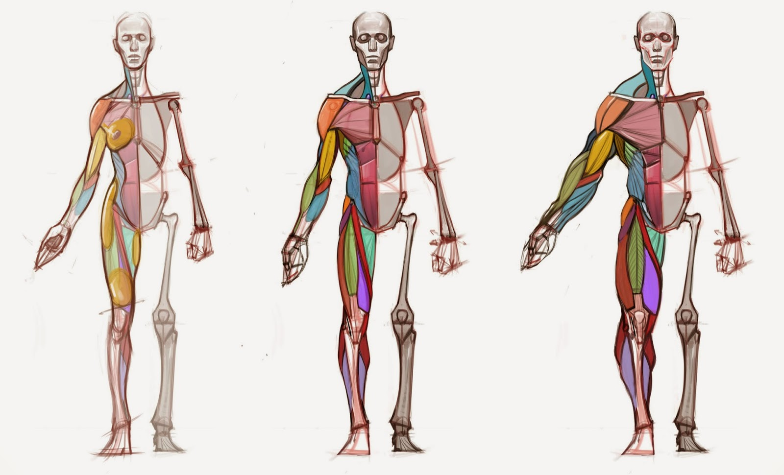 Figuredrawingfo news body type diagram here is a diagram i made for a lecture on body typegender variations in my anatomy class the goal was to understand how skeletal muscle ccuart Image collections