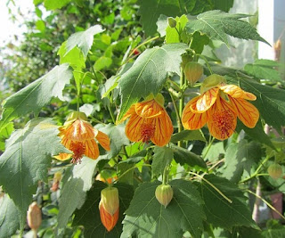 Jardineria, Catalogo de Plantas: Abutilon Striatum