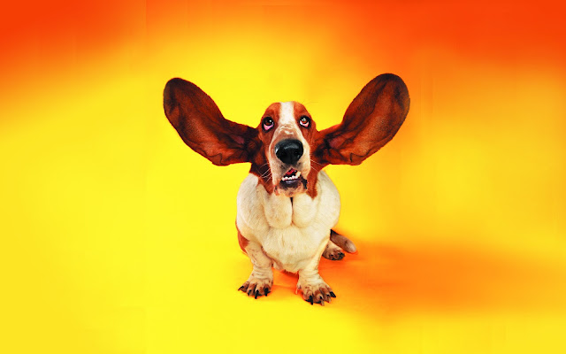 basset hound wallpaper, funny ears