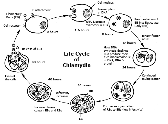 the disease state of chlamydia and how the organisms invades its host How pathogens cause disease the eps allows the bacteria to adhere to the host cells and intracellular pathogens achieve invasion by entering the host's.