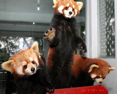 red-panda-pet-picture