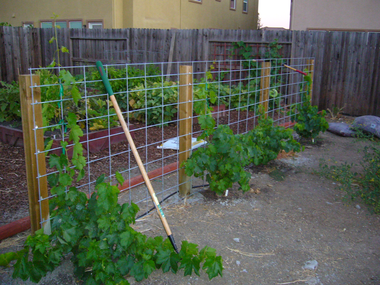sacramento vegetable gardening the grape ape