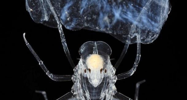 Conheça Phronima, o parasita que inspirou o filme Alien