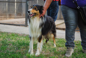 MoonLight Lorelay Rough Collie,tolta a matrattamenti