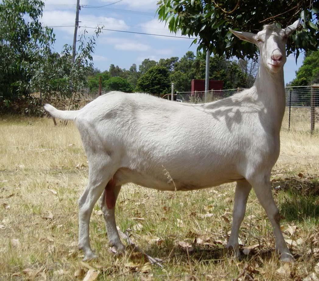 saanen goat, milk goat, dairy goats, commercial goat farming, commercial dairy goat farming