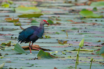 A photograph of a Purple Coot taken in Thalangama, Sri Lanka