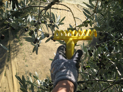 On the olive tree in Tuscany