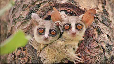 Galago - Bushbabies   Wildlife Valley