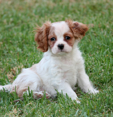 Cavalier King Charles Spaniel Puppies