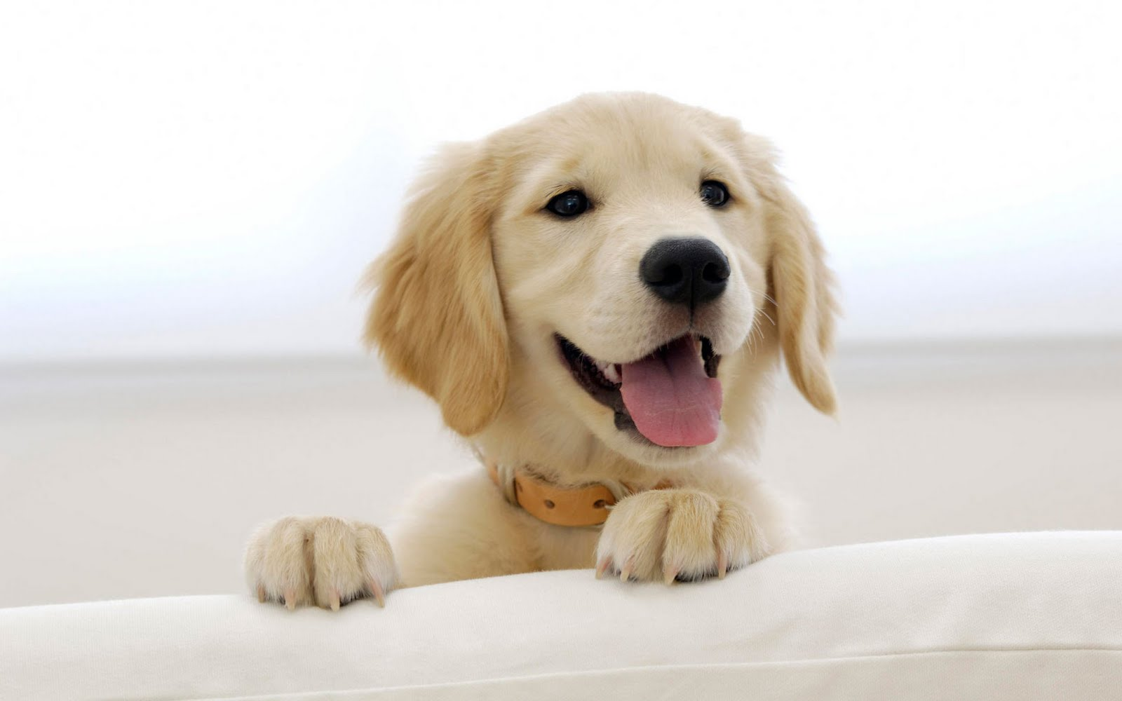golden retriever puppies wallpaper funny animal