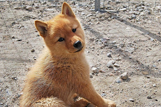 Finnish Spitz Puppy Picture