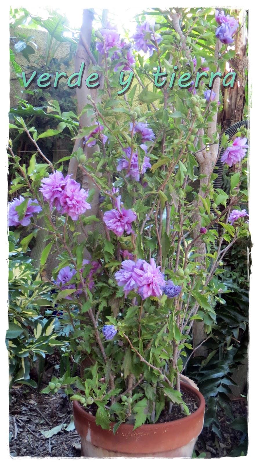 Verde y tierra altea hibiscus syriacus for Hibiscus arbol