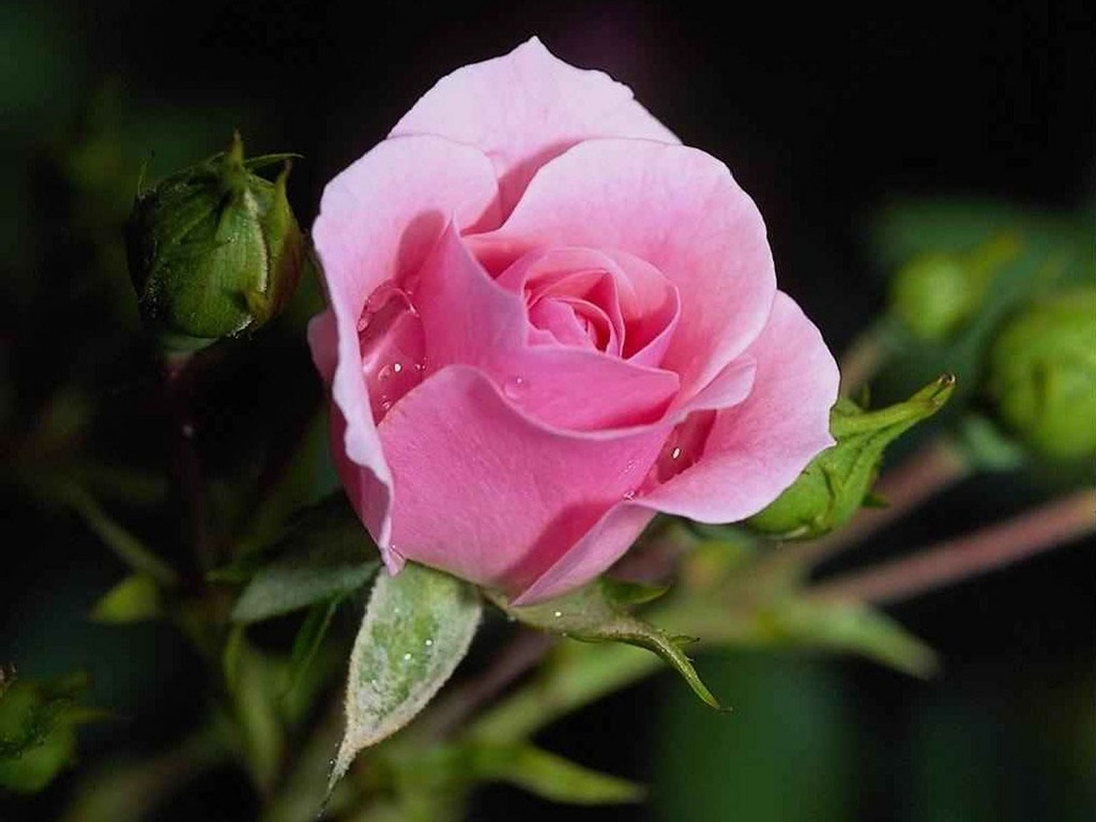 http://4.bp.blogspot.com/-8l2ohzS47xk/Tig9xHet90I/AAAAAAAAGZk/BN7w9UCyhj8/s1600/Roses_05.jpg