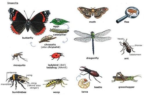 Klasifikasi Insecta (Serangga)