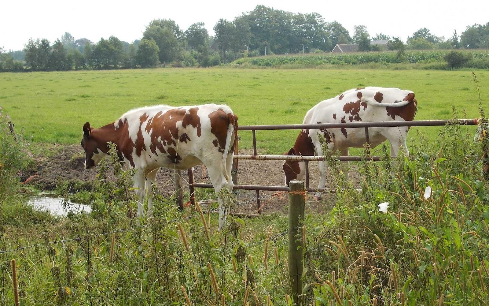 http://4.bp.blogspot.com/-8lFNTAcr8-w/UDaTuyJZUlI/AAAAAAAAA9o/p2rrFgWWpn4/s1600/hd-red-holstein-frisian-cows-wallpaper-photo-of-dutch-cows-background-picture.jpg