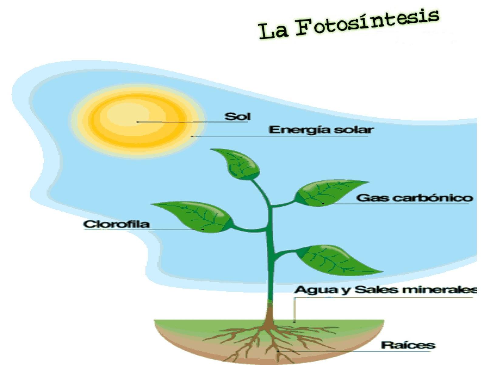 Fotosintesis - Todo sobre las plantas ...