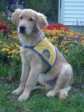 Goldens Retrievers: Labrador Retriever And Golden Retriever Mix