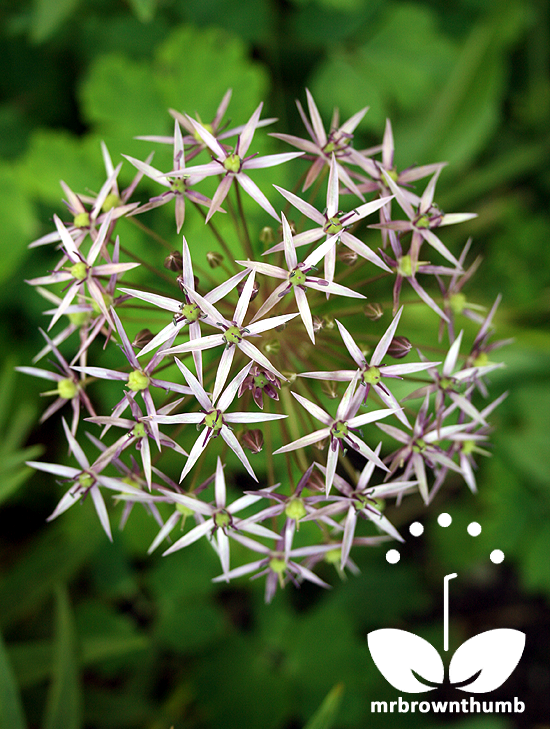 Allium christophii Star of Persia