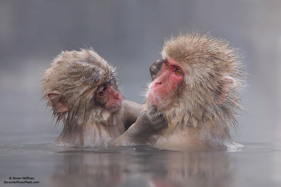 10. Photograph Japanese Macaque (snow monkey) by Doron Hoffman