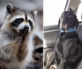 Guaxinim e cachorro assustados