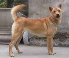 Giống chó vàng Việt Nam