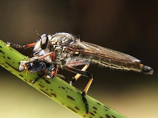 Robber flies