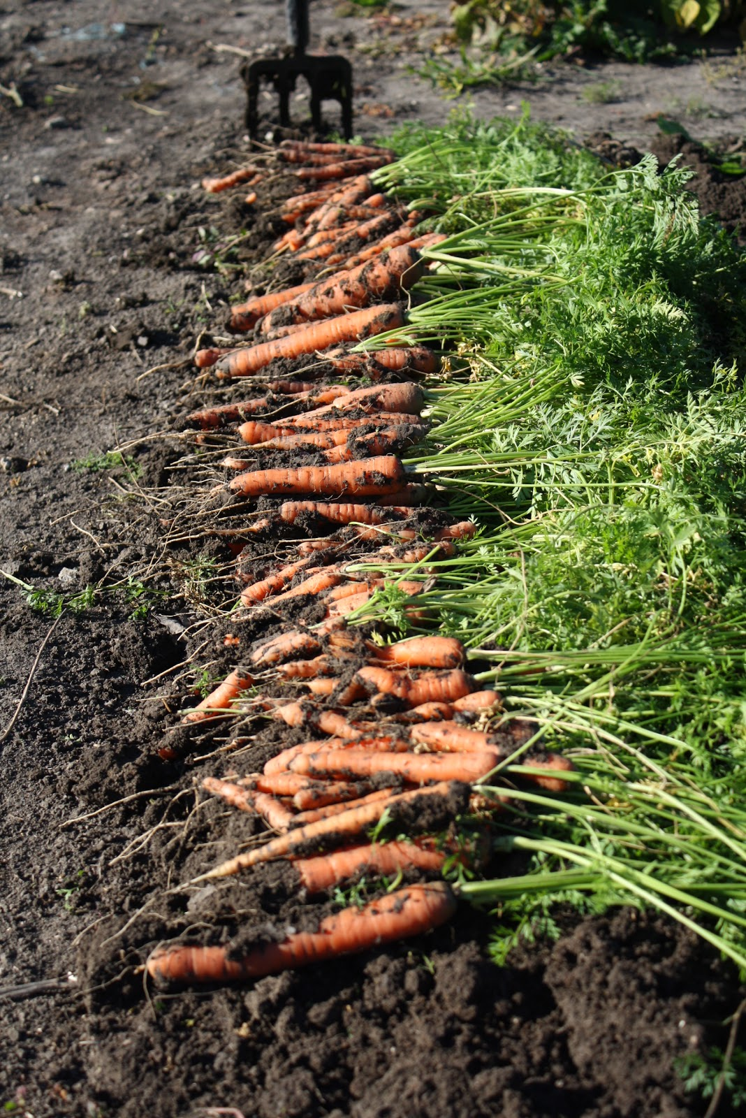 Veggie delight a manitoba garden how we plant carrots for Soil your pants